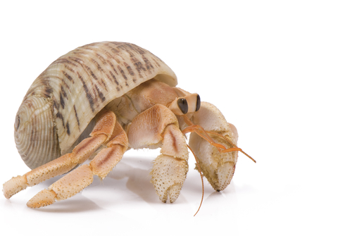 Can You Put Hermit Crabs In A Fish Tank Blurtit