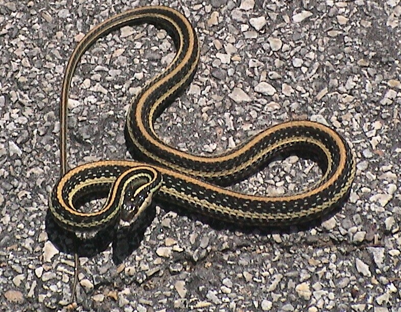 What is the name of a snake that is black with white Garden snakes in texas