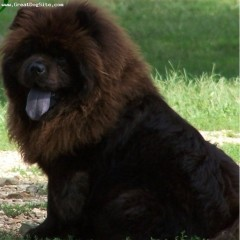 Have black tongues but the chow is the most popular breed that has a
