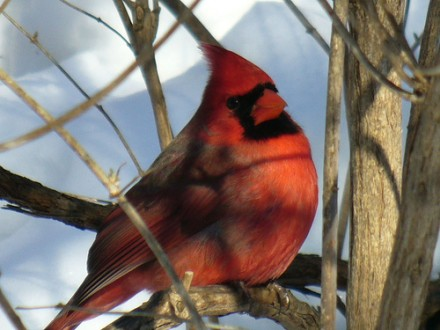 What Does A Red Cardinal Bird Symbolize Blurtit