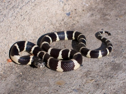 What Kind Of Snake In California Black With White Rings
