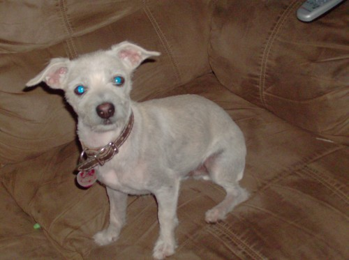 How Big Does A Chihuahua Terrier Mix Grow Blurtit