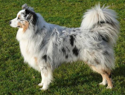 What type of dogs have a fluffy butt? Can you name the meduim to